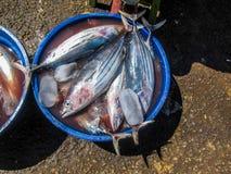Fischen Sie in einem Eimer auf Eis in der Sonne, vielleicht ozeanischer Blaufisch Stockfoto