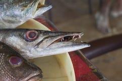 Fischen Sie einen Barracuda mit den Zähnen Lizenzfreies Stockfoto