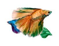 Fischen Sie Fang, den die Bewegung von Fischen auf weißem Hintergrund lokalisierte [Zuchtendstückkronen-Flocke Diamant] Lizenzfreie Stockfotografie
