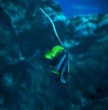 Fischen Sie Heniochus-acuminatus in dem tiefen blauen Ozean, der hinunter n schwimmt Stockbilder