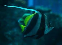 Fischen Sie Heniochus-acuminatus in dem tiefen blauen Ozean, der nahe t schwimmt Stockfoto