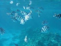 Fischen Sie im Roten Meer Lizenzfreies Stockfoto