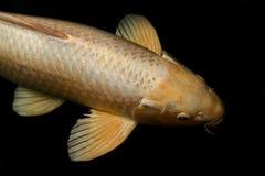 Fischen Sie Karpfen, Fische koi Gold, der goldene Vergaser, große Größe der gelbes Goldkarpfenfische lokalisiert auf schwarzem Hi stockfotografie
