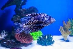Fischen Sie Lionfish im Aquarium auf dem blauen Hintergrund mit Rotem Meer Stockbild