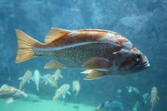 Fischen Sie mit Braun und Goldstellen im klaren Wasser Stockfotos