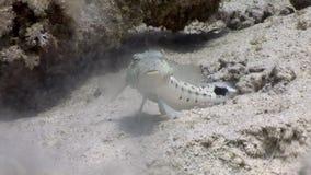 Fischen Sie mit dem Interesse, das Bluespotted-Stechrochen aufpasst, der im Sand von Meer begräbt stock footage