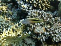 Fischen Sie nahe Korallenriff Lizenzfreies Stockbild