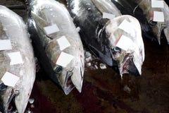 FischenThunnus Stockbilder