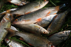 Fischenzeit? Stockfoto