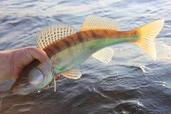 Fischer der Fische in der Hand Lizenzfreies Stockbild