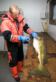 Fischer, der großen Kabeljau ausbeint   Lizenzfreies Stockfoto