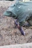 Fischer, der herauf den Aal anhebt Stockfoto