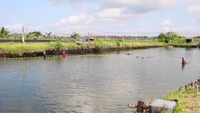 Fischer ernten Garnele stock video