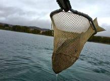 Fischer-Land-große Regenbogenforelle lizenzfreie stockfotografie