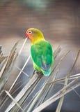 Fischer Lovebird (Agapornis fischeri) Obraz Stock