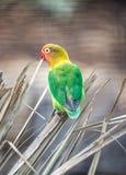 Fischer Lovebird, Agapornis fischeri Fotografia Royalty Free