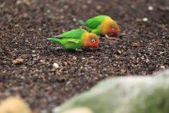 Fischer lovebird Stock Photo