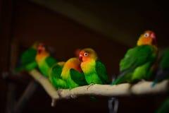 Fischer lovebird papugi Zdjęcie Royalty Free