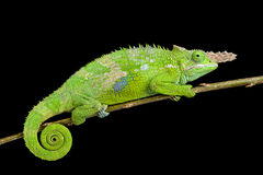 Fischer's chameleon (Kinyongia fischeri ). Is a rare bizar looking chameleon species found in Tanzania royalty free stock image
