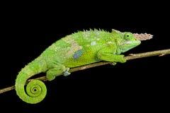 Fischer's chameleon (Kinyongia fischeri ) Royalty Free Stock Image