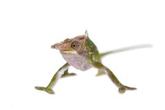 Fischer's chameleon, Kinyongia fischeri on white Stock Photos