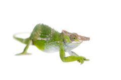 Fischer's chameleon, Kinyongia fischeri on white. Fischer's chameleon, Kinyongia fischeri isolated on white background royalty free stock photo