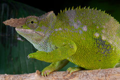Fischer's Chameleon male. The Fischer's Chameleon (Kinyongia fischeri) is a species of chameleon native to the Nguru and Nguu mountains of Tanzania royalty free stock photo