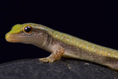 Fischer`s Dwarf Gecko, Lygodactylus fischeri. Is a small day gecko species found in Togo and probably some surrounding countries Royalty Free Stock Photo