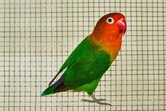 The Fischer`s lovebird Agapornis fischeri. The Fischer`s lovebird is a small parrot species of the Agapornis genus Royalty Free Stock Photo