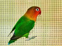 The Fischer`s lovebird Agapornis fischeri. The Fischer`s lovebird is a small parrot species of the Agapornis genus Stock Photo