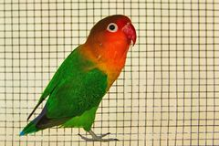 The Fischer`s lovebird Agapornis fischeri. The Fischer`s lovebird is a small parrot species of the Agapornis genus Royalty Free Stock Photography