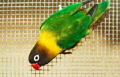 The Fischer`s lovebird Agapornis fischeri. The Fischer`s lovebird is a small parrot species of the Agapornis genus Stock Images