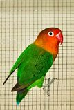 The Fischer`s lovebird Agapornis fischeri. The Fischer`s lovebird is a small parrot species of the Agapornis genus Stock Photography