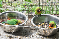Fischer's lovebird (Agapornis fischeri), small parrots feeding f. Fischer's lovebird (Agapornis fischeri). Small parrots feeding from the bowls. Beauty in nature Stock Images