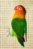 The Fischer`s lovebird Agapornis fischeri. The Fischer`s lovebird is a small parrot species of the Agapornis genus Royalty Free Stock Photos