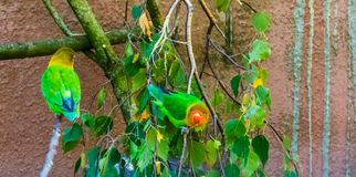 Fischers lovebirds sitting on a tree branch, colorful and tropical small parrots from africa, popular pet in aviculture. Two fischers lovebirds sitting on a tree royalty free stock photography
