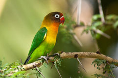 Fischer's Parrot Royalty Free Stock Photography
