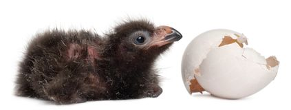 Fischer`s Turaco with hatched egg, Tauraco fischeri, 2 days old. In front of white background royalty free stock images