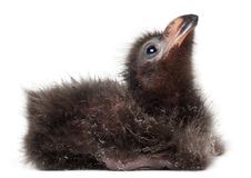 Fischer`s Turaco, Tauraco fischeri, 2 days old. In front of white background stock image