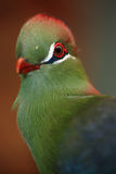 Fischer's Turaco Stock Photography