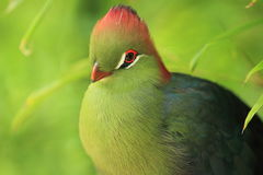 Fischer turaco Royalty Free Stock Image