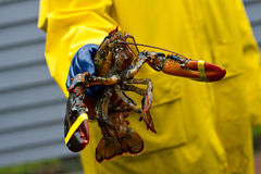 Fischer und sein frisch gefangener Maine-Hummer Lizenzfreie Stockfotos