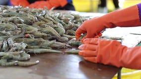 Fischer wählen Größe von frischen Garnelen stock video
