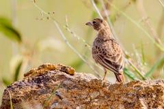 Fischer's Sparrow-Lark Female Stock Photos