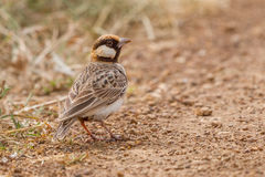 Fischer's Sparrow-Lark Male Royalty Free Stock Image