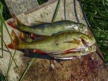 Fischerei auf dem See See perchs bereiten sich vor Aktive Freizeit im Freien Lizenzfreie Stockbilder