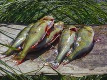 Fischerei auf dem See See perchs bereiten sich vor Aktive Freizeit im Freien nahaufnahme Lizenzfreie Stockbilder