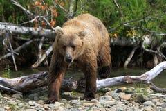 Fischerei des Bären Lizenzfreies Stockbild