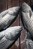 Fischerei des gestreiften Basses Lizenzfreie Stockfotos