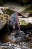Fischerei des schwarzen Bären Lizenzfreie Stockfotos